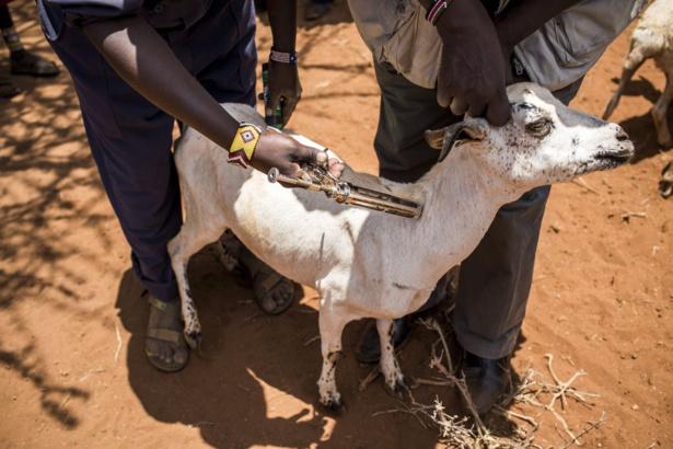 MALADIES ANIMALES TRANSFRONTALIÈRES EN AFRIQUE SUBSAHARIENNE :  La FAO renforce les capacités des vétérinaires épidémiologistes des pays de la zone