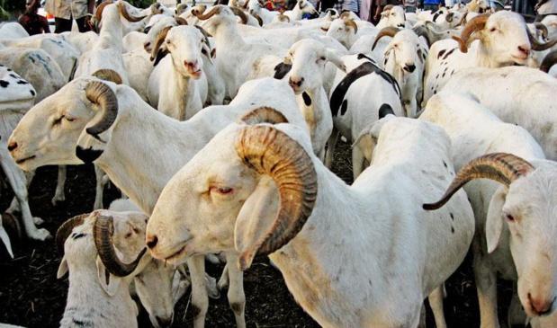ELEVAGE : Aminata Mbengue Ndiaye souligne les bienfaits du projet ''IMAM'' pour l'autosuffisance en moutons au Sénégal