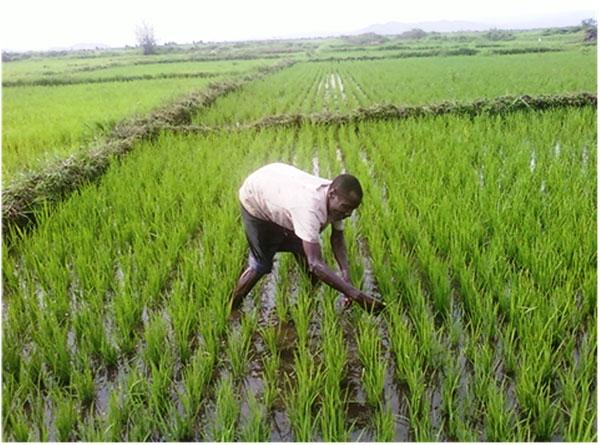 Riziculture : perspectives de production quasi-stables pour la campagne 2018-2019