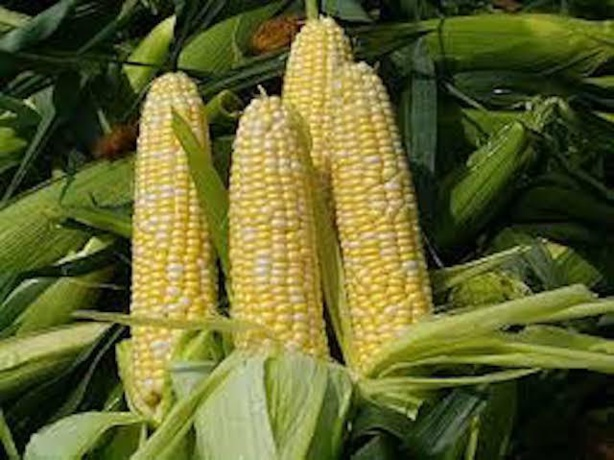 Maïs : La production mondiale estimée à 1101,2 millions de tonnes