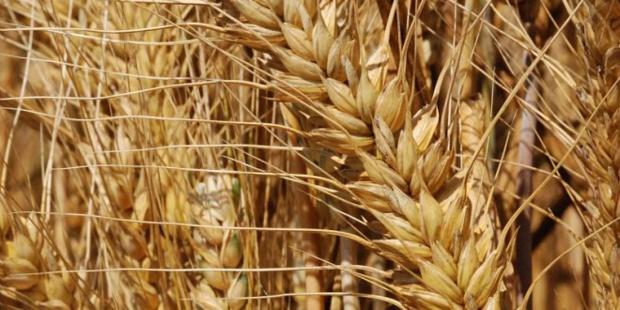 Cours du blé : Un raffermissement de 0,2% noté en avril dernier