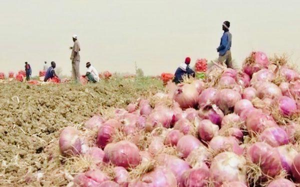 Construction d'une usine de déshydratation d'oignons au Sénégal : L'Ifc et l'Aatif mettent 13 millions d'euros sur 760 hectares à Saint-Louis