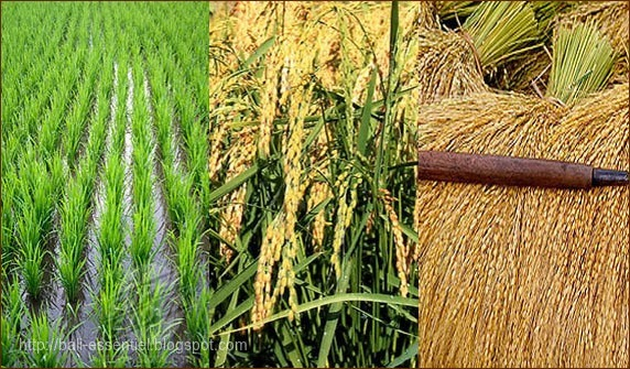 Production de riz : 633,7 Millions de tonnes  pour la campagne 2018