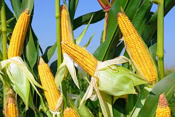 Maïs: La production en baisse pour la campagne 2018-2019