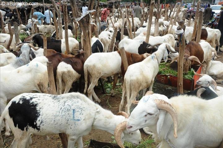 Approvisionnement en moutons : Les éleveurs invités à agir dans la synergie et la complémentarité
