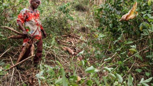 Uemoa : Les estimations indiquent une hausse de 4,7% de la production  Vivrière