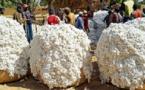 Sénégal : Baisse de 1943 tonnes de la production de coton au premier semestre 2016