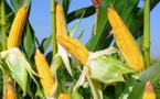 Maïs : La production mondiale atteint 1053,8 millions de tonnes