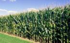 MAIS : L'USDA table sur 1036,9 millions de tonnes en juillet