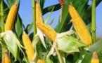 Maïs : La consommation mondiale attendue à 1074,4 Millions de tonnes