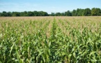 Production de maïs: Baisse en vue
