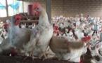 Sénégal : La « bataille du poulet » aura-t-elle lieu ?