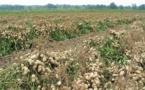 Arachides : 3.302.448 de tonnes produites dans l'Uemoa