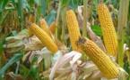 Cours mondiaux des matières premières : Chute des prix du riz, du blé et du maïs en mai 2020