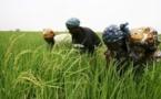SAED: le nouveau DG veut surtout atteindre l'autosuffisance du pays en riz