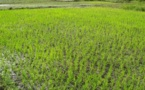 Un projet appuyé par la JICA pour l'autosuffisance en riz