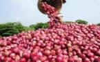 La production d'oignon s'est hissée à 260 000 tonnes en 2013