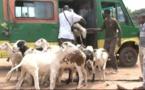 Transport de Moutons : Le Ministre de l'élevage s'insurge des taxes appliquées par le Mali par camion  transportant des moutons